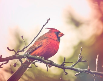 Photograph of Red Cardinal - Bird Photography - Cardinal - nature art print, woodland wall decor, rustic home decor, boys room, crimson red