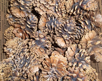 Fifty Five - Michigan Pine Cones - Austrian Pine - Large - Healthy Pine Cones - Craft Ready - Wedding Centerpiece
