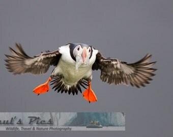 Icelandic Puffin - Landing Gear, 8x12 Fine Art Photograph (Z2281)
