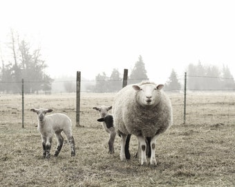 Sheep Photography Animal Photo of Ewe and  Lambs Animal Photography