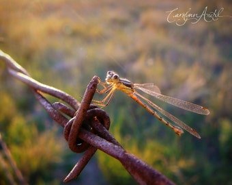 Damselfly on a Barbed Wire Fence Limited Edition Print