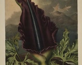 """Temple of Flora """"The Dragon Arum"""" Botanical Print, Large for Framing SALE Buy 3, get 1 free"""