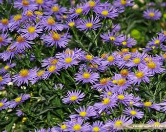 Photography digital  Daisy violet