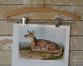 Vintage  Print or Plate  Audubon Drawing Virginia Deer or White Tailed Deer or Mule Deer 1954 Book