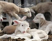 rest in me - fine lamb photography - farm fresh cards