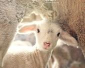 treasured - fine lamb photography (and so farm fresh) 8x8 hard backed