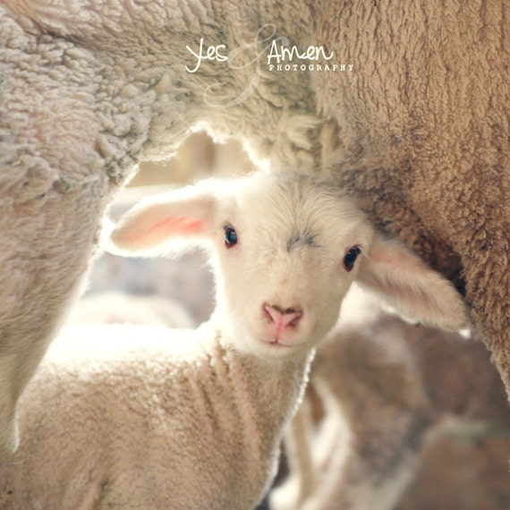 treasured - fine lamb photography (and so farm fresh) 8x8 hard backed