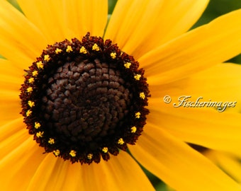 Black Eyed Susan Flower Macro Nature Wall Art Home Decor Photo Print Fine Art Photography