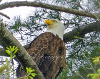 Bald Eagle Perched in Pine Tree Branches Bird Photo Nature Wall Art Home Decor Fine Art Photography