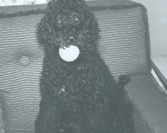 Vintage Photograph Photo Snapshot Pure Bred Black Standard Poodle Dog Puppy Ball in Mouth