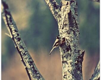 Bird photography, chickadee, Washington, wall decor, nursery art