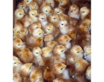 Warm Fuzzies | Box of Baby Chickens Greeting Card | Buckeye Chicks