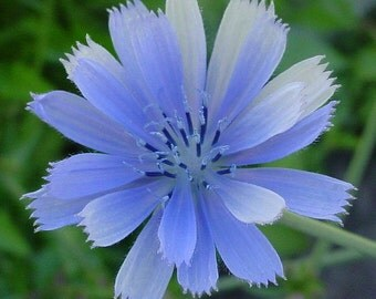 Prince Charming Blue Chicory