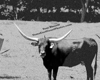 Black and White Steer photo- Cattle photo- farm photo- fine art