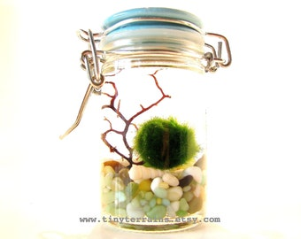FREE SHIPPING - Marimo Terrarium:  Marimo Moss Ball Tiny Jar Aquarium, Several Colors Available