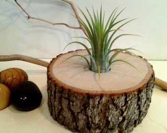 TREASURY ITEM -  Air plant terrarium - Air plant - Woodland decor - Home decor - Cabin decor - Holiday gift