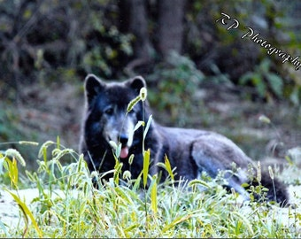 Wolf Photography - Resting