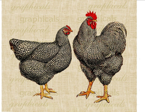 black speckled chickens poultry rooster instant digital