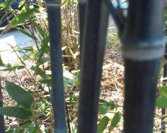 Black Bamboo (Phyllostachys Nigra.)