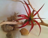 TREASURY ITEM - 5 pack Air plants - Capitata Red - Red air plant -  Diy projects - Terrariums - Moss - Color air plant