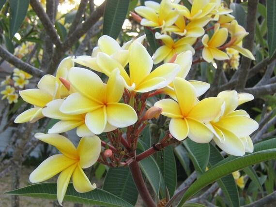 how to make frangipani oil