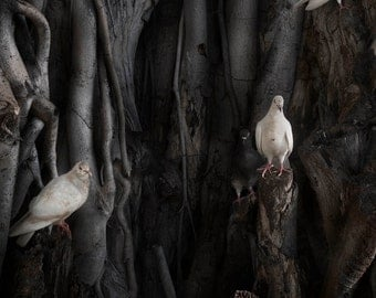 """The Banyan -- A photograph of doves perched on a banyan tree infused on 30x40"""" aluminum"""