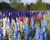 Heirloom 400 Seeds Consolida DELPHINIUM Larkspur Garden bulk flower seeds B0053