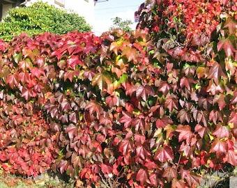 Heirloom 100 Seeds Boston Ivy Vine Virginia creeper Parthenocissus tricuspidata Bulk Seeds S094