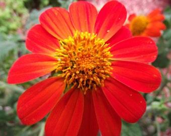 Heirloom 150 Seeds Mexican Sunflower Tithonia Rotundifolia Red Torch Flower Garden B0136