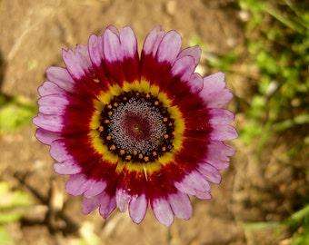 Heirloom 300 Seeds Painted Daisy Carinatum flower bulk seeds B0035