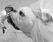 Funny Dog Photo - English Bulldog kissing a Ken doll - Piper The Painting Bulldog as a bride with her groom Ken - Wedding - Black and White