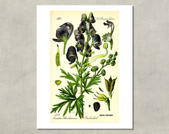 Wolfsbane Botanical Print, 1885 - 8.5x11 Poster Print - also available in 11x14 and 13x19 - see listing details
