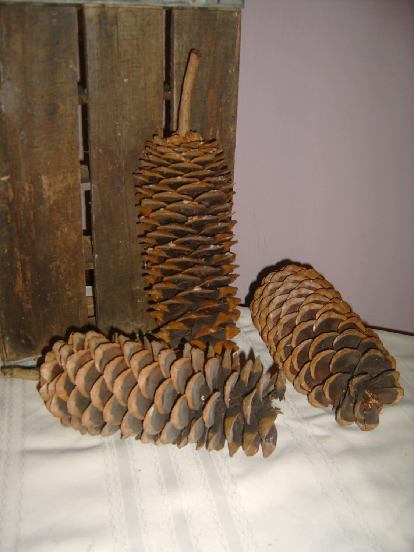 3 Giant Sequoia Redwood Pine Cones Home Decor
