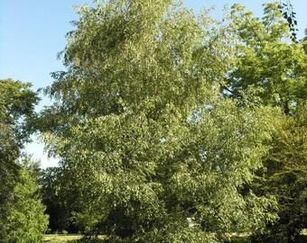 50 Gray Birch Tree Seeds, Betula populifolia