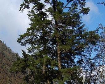 500 Chinese Hemlock Tree Seeds, Tsuga chinensis