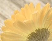 Flower Photograph, Yellow Daisy Flower, Fine Art Photography Print, Gerbera Daisy, nature, summer, feminine, mustard yellow wall art