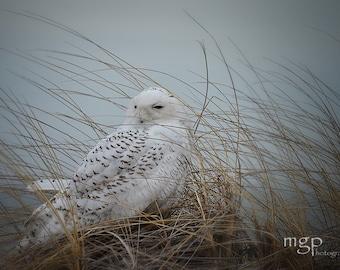 Snowy Owl, 5x7 Fine Art Photograph, Bird Owl Snow Beach Gray Blue White, Animal Photography