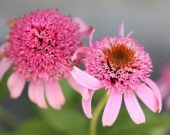 Photo Print - Pink Echinacea, Pink Coneflowers