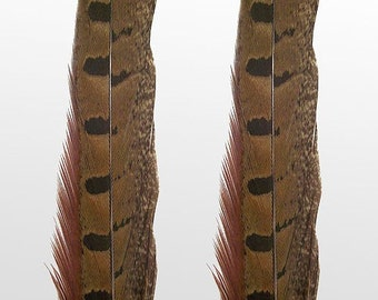 "Ringneck Pheasant Feathers.  8/10"" (20-25cm) .  UK Supplier"