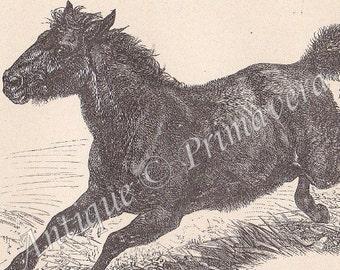 1898 Equus - Horses, Donkey and Zebra, Qnagga, Tarpan Antique German Engraving