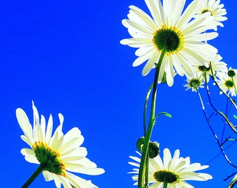 Daisies, a bee's eye view.  An 8 inches x 8 inches photographic print.  (20cm x 20cm)  Wall Art.