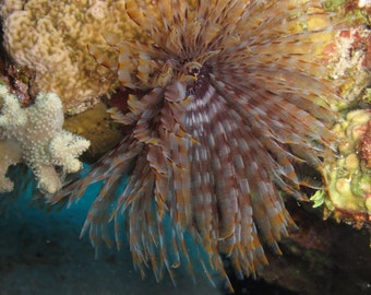 Download digital photo - A polychaete worm in the coral reefs of the Red Sea