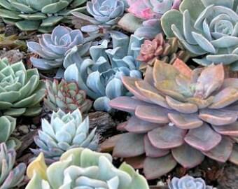 Succulent Rosette Designer Mix 8 rosettes