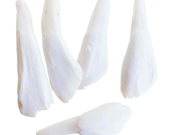 Drilled Buffalo Tooth Pendant (Bag of 10)