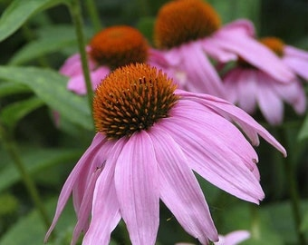 800 *HEIRLOOM* Purple Coneflower (Echinacea) Seeds