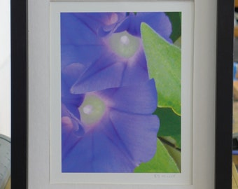 Purple, blue, Morning Glories, Framed, Matted, Giclee Print