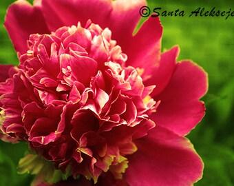 Peony - Fine Art Photography - Digital photography download, instant download, flower photography, Peony photo, pink flower photo