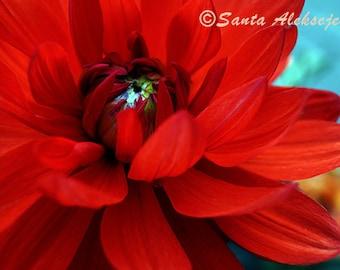 Red Dahlia Flower, Fine Art Photography, Photography Print, red flower photo print, flower photography print, wall decor, dahlia print, 8x10