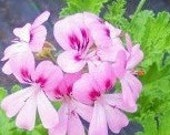 Mimosa (Sweet Miriam) Scented Geranium live herb plant
