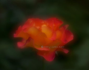 Nature Photography - Red & Yellow Rose in Soft Focus